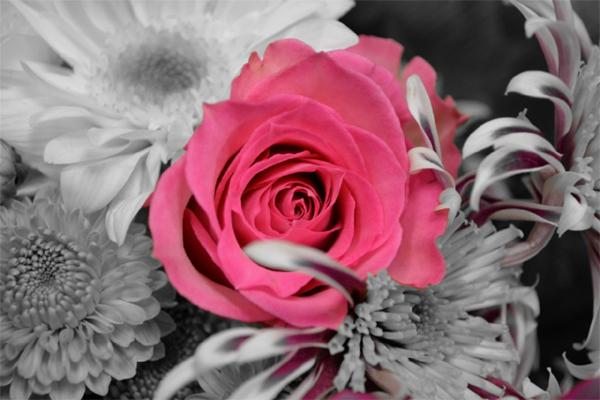 fiore di rosa tra fiori grigi